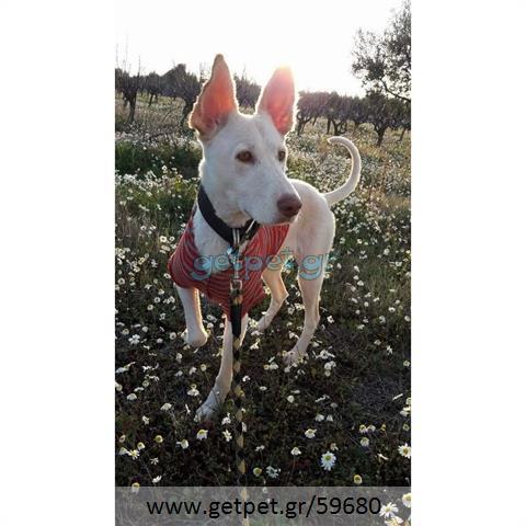 Δίνεται για υιοθεσία - χαρίζεται ημίαιμη σκυλίτσα Canadian White Shepherd Dog - Καναδέζικο Λυκόσκυλο
