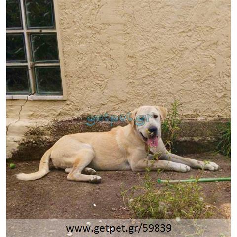 Δίνεται για υιοθεσία - χαρίζεται ημίαιμη σκυλίτσα Sharpei - Σαρ Πέι
