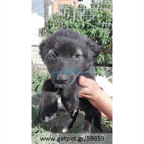 Δίνεται για υιοθεσία - χαρίζεται ημίαιμο κουτάβι Belgian Shepherd - Βέλγικο Ποιμενικό