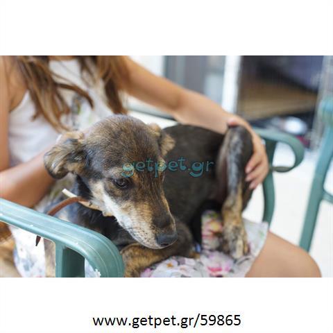 Δίνεται για υιοθεσία - χαρίζεται ημίαιμο κουτάβι Greyhound - Γκρέι Χάουντ