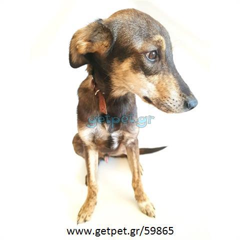 Δίνεται για υιοθεσία - χαρίζεται ημίαιμος σκυλάκος Greyhound - Γκρέι Χάουντ
