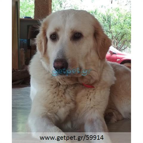 Δίνεται για υιοθεσία - χαρίζεται σκυλίτσα Greek White Sheepdog - Λευκό Ελληνικό Τσοπανόσκυλο