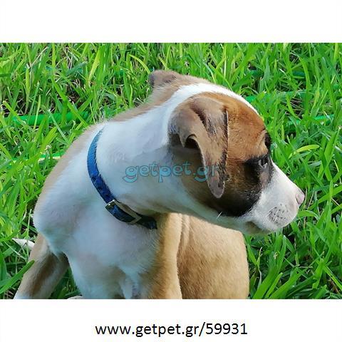 Δίνεται για υιοθεσία - χαρίζεται ημίαιμο κουτάβι Pit Bull - Πίτ Μπουλ Τερριέ