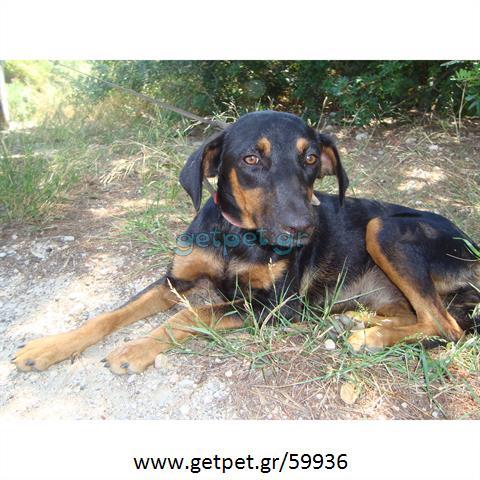 Δίνεται για υιοθεσία - χαρίζεται ημίαιμη σκυλίτσα Doberman - Ντόμπερμαν