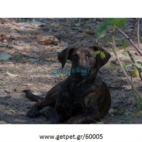 Δίνεται για υιοθεσία - χαρίζεται ημίαιμη σκυλίτσα Dutch Shepherd - Ολλανδικό Ποιμενικό