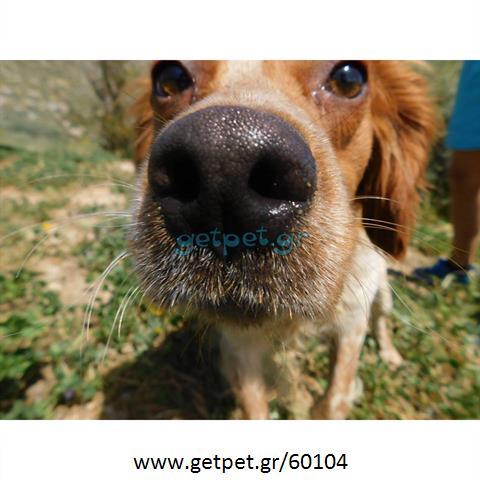 Δίνεται για υιοθεσία - χαρίζεται σκυλάκος Epagneul Breton - Έπανιέλ Μπρετόν