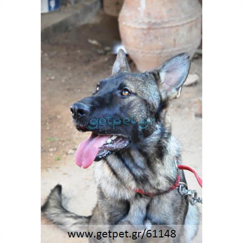 Δίνεται για υιοθεσία - χαρίζεται σκυλίτσα Malinois - Μαλινουά