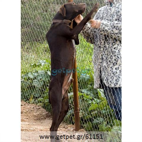 Δίνεται για υιοθεσία - χαρίζεται σκυλάκος Kurzhaar - Κουρτσχαάρ