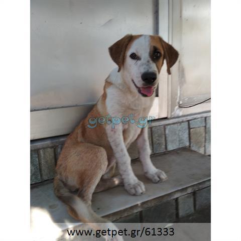Δίνεται για υιοθεσία - χαρίζεται ημίαιμη σκυλίτσα Central Asian Shepherd - Ποιμενικός Κεντρ. Ασίας