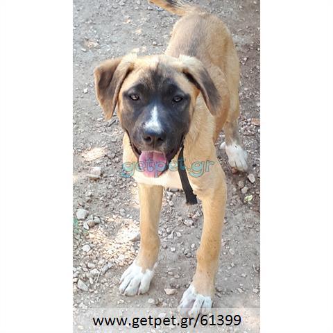 Δίνεται για υιοθεσία - χαρίζεται ημίαιμη σκυλίτσα Greek Molossus of Epirus - Μολοσσός της Ηπείρου
