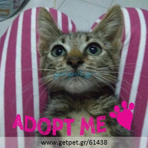 Δίνεται για υιοθεσία - χαρίζεται γατάκι Aegean Cat - Γάτα Αιγαίου