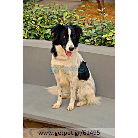Δίνεται για υιοθεσία - χαρίζεται σκυλίτσα Border Collie - Μπόρντερ Κόλεϋ