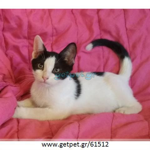 Δίνεται για υιοθεσία - χαρίζεται γατάκι British Shorthair - Βρετανική Κοντότριχη