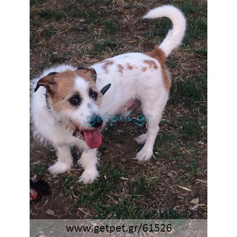 Δίνεται για υιοθεσία - χαρίζεται ημίαιμος σκυλάκος Fox terrier - Φοξ Τερριέ