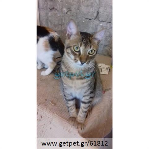 Δίνεται για υιοθεσία - χαρίζεται γάτος Bengal - Βεγγάλης