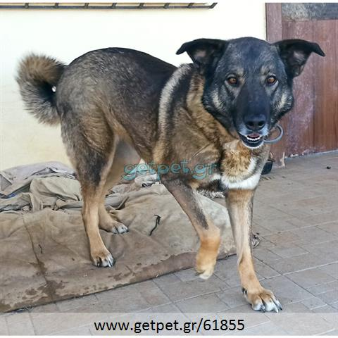 Δίνεται για υιοθεσία - χαρίζεται ημίαιμη σκυλίτσα Malinois - Μαλινουά