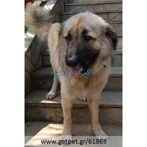 Δίνεται για υιοθεσία - χαρίζεται σκυλάκος Caucasian - Ποιμενικός Καυκάσου