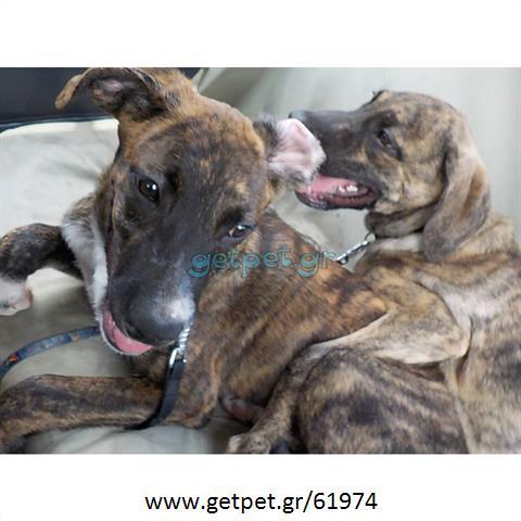 Δίνεται για υιοθεσία - χαρίζεται ημίαιμη σκυλίτσα Cane corso - Κάνε Κόρσο