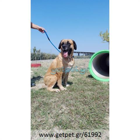 Δίνεται για υιοθεσία - χαρίζεται ημίαιμη σκυλίτσα Saint Bernard - Αγ. Βερνάρδου