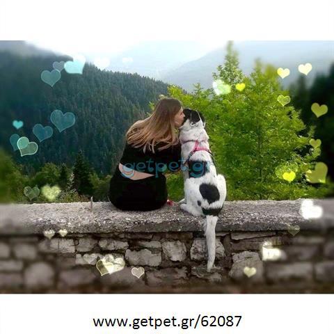 Δίνεται για υιοθεσία - χαρίζεται ημίαιμη σκυλίτσα Pointer - Πόιντερ