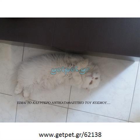 Δίνεται για υιοθεσία - χαρίζεται γάτος Persian - Περσική