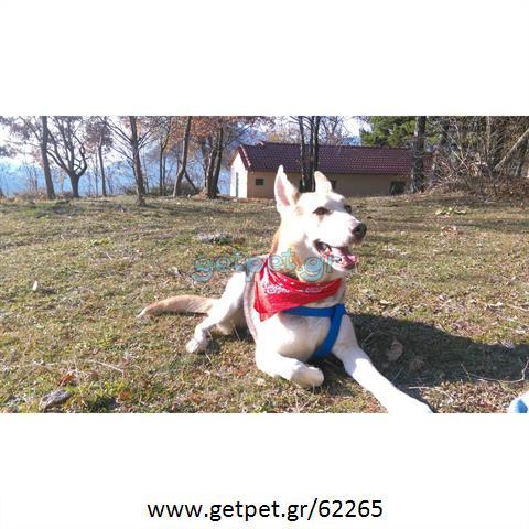Δίνεται για υιοθεσία - χαρίζεται ημίαιμος σκυλάκος Siberian Husky - Σιβηρικό Χάσκυ