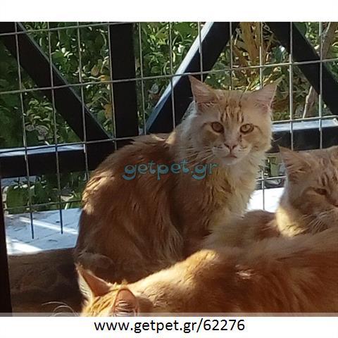 Δίνεται για υιοθεσία - χαρίζεται γάτος Mainecoon - Μέιν Κουν