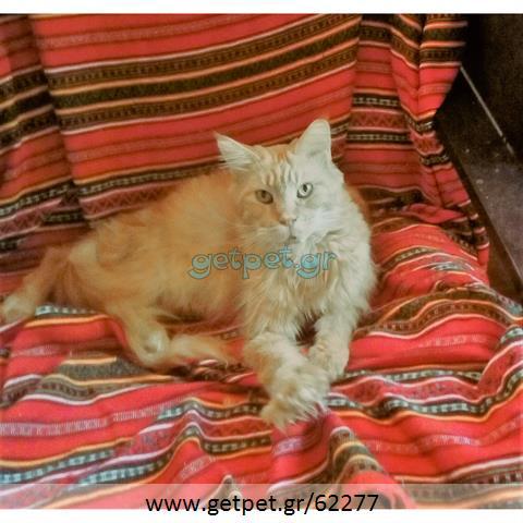 Δίνεται για υιοθεσία - χαρίζεται γάτα Mainecoon - Μέιν Κουν