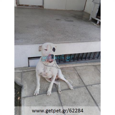 Δίνεται για υιοθεσία - χαρίζεται σκυλάκος Dogo Argentino - Ντόγκο Αρτζεντίνο