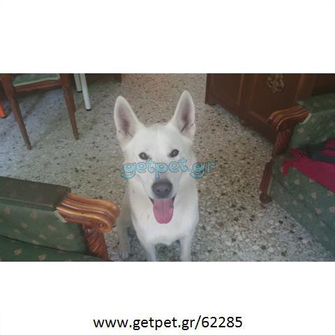 Δίνεται για υιοθεσία - χαρίζεται σκυλάκος Canadian White Shepherd Dog - Καναδέζικο Λυκόσκυλο
