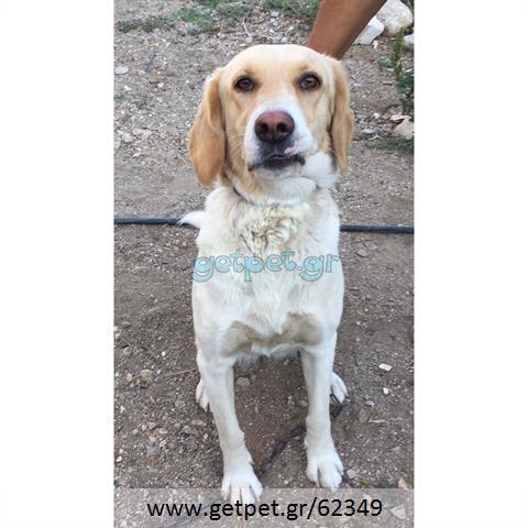 Δίνεται για υιοθεσία - χαρίζεται ημίαιμη σκυλίτσα Segugio - Σεγκούτσι