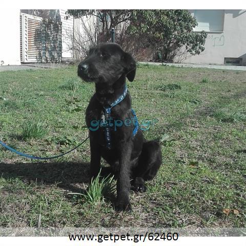 Δίνεται για υιοθεσία - χαρίζεται σκυλάκος Griffon - Γκριφόν