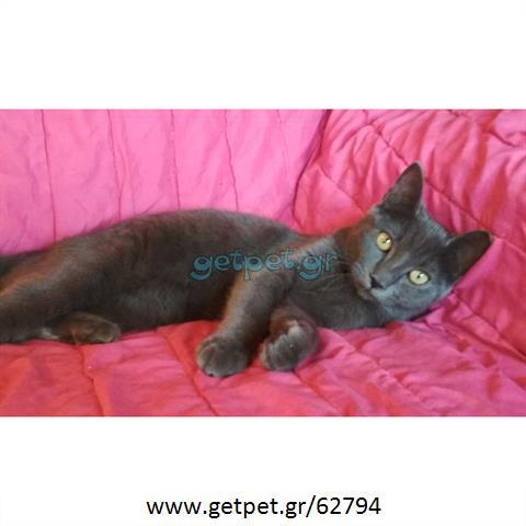Δίνεται για υιοθεσία - χαρίζεται γάτα Russian Blue - Ρωσική μπλέ γάτα