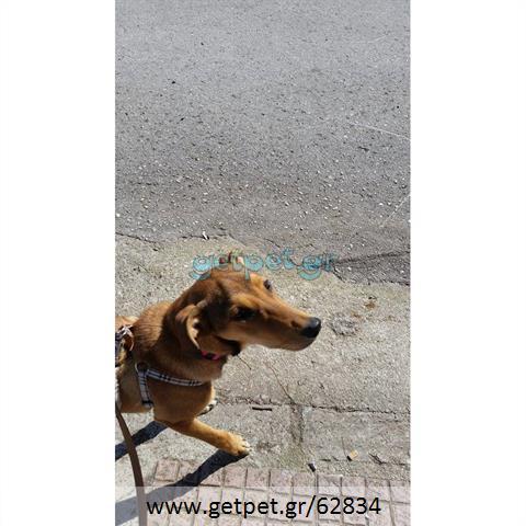 Δίνεται για υιοθεσία - χαρίζεται ημίαιμη σκυλίτσα Greek Kokoni - Κοκόνι