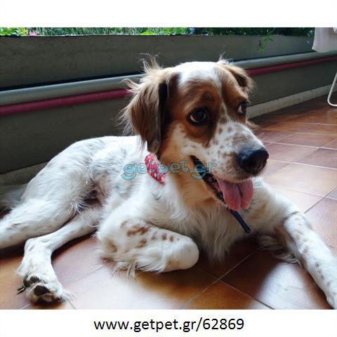 Δίνεται για υιοθεσία - χαρίζεται σκυλίτσα Epagneul Breton - Έπανιέλ Μπρετόν