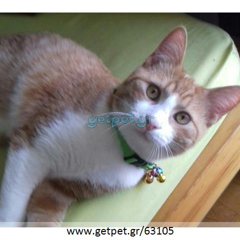 Δίνεται για υιοθεσία - χαρίζεται γάτος Aegean Cat - Γάτα Αιγαίου
