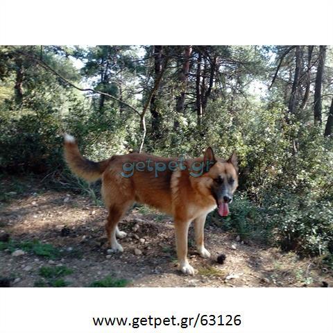 Δίνεται για υιοθεσία - χαρίζεται ημίαιμος σκυλάκος Malinois - Μαλινουά