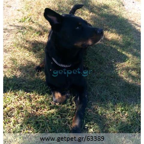 Δίνεται για υιοθεσία - χαρίζεται ημίαιμος σκυλάκος Rottweiler - Ροτβάιλερ