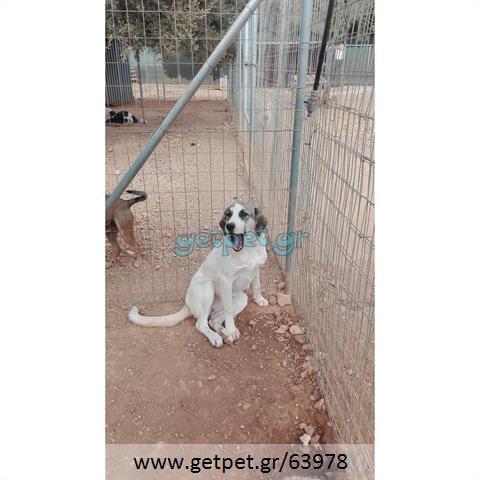 Δίνεται για υιοθεσία - χαρίζεται ημίαιμη σκυλίτσα Greek Sheepdog - Ελληνικός Ποιμενικός