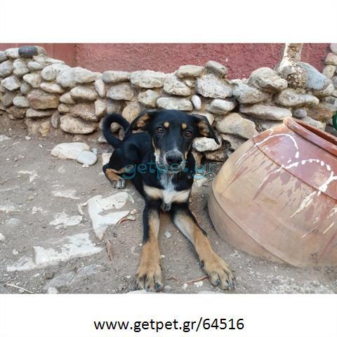Δίνεται για υιοθεσία - χαρίζεται ημίαιμος σκυλάκος Doberman - Ντόμπερμαν