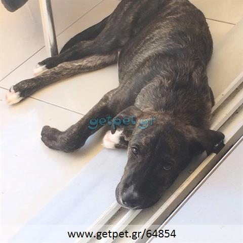 Δίνεται για υιοθεσία - χαρίζεται ημίαιμος σκυλάκος Dutch Shepherd - Ολλανδικό Ποιμενικό