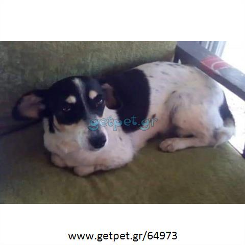 Δίνεται για υιοθεσία - χαρίζεται ημίαιμη σκυλίτσα Jack Russell Terrier - Τζακ Ράσελ Τεριέ