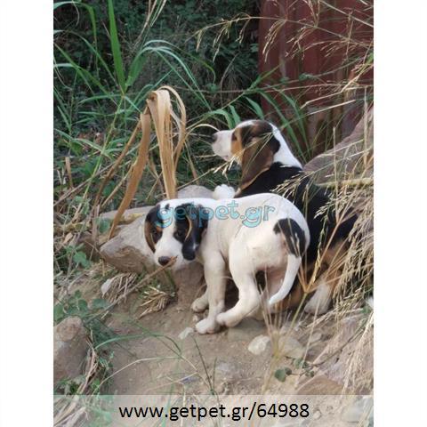 Δίνεται για υιοθεσία - χαρίζεται κουτάβι Beagle - Μπηγκλ