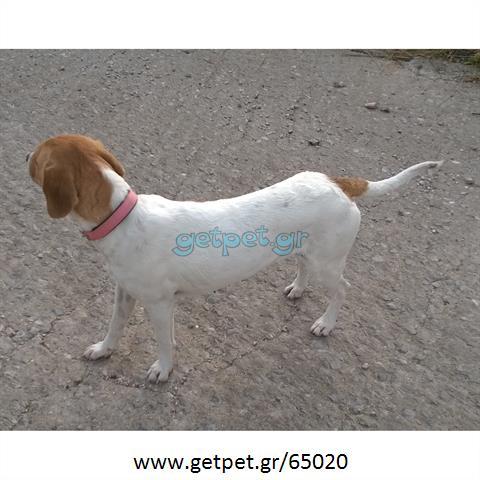 Δίνεται για υιοθεσία - χαρίζεται ημίαιμη σκυλίτσα Beagle - Μπηγκλ