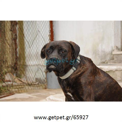 Δίνεται για υιοθεσία - χαρίζεται σκυλάκος Boxer - Μπόξερ
