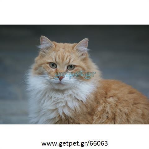 Δίνεται για υιοθεσία - χαρίζεται ημίαιμος γάτος Aegean Cat - Γάτα Αιγαίου