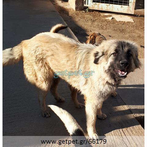 Δίνεται για υιοθεσία - χαρίζεται σκυλίτσα Caucasian - Ποιμενικός Καυκάσου