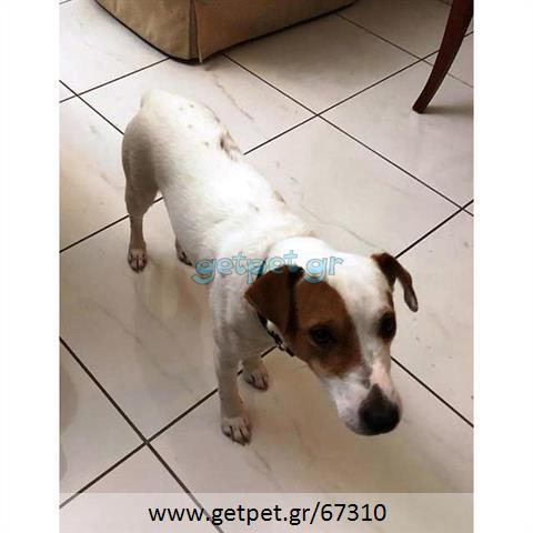 Δίνεται για υιοθεσία - χαρίζεται ημίαιμος σκυλάκος Jack Russell Terrier - Τζακ Ράσελ Τεριέ