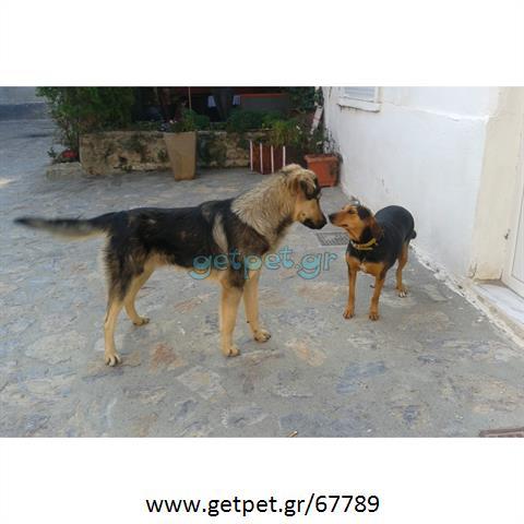 Δίνεται για υιοθεσία - χαρίζεται ημίαιμος σκυλάκος Caucasian - Ποιμενικός Καυκάσου