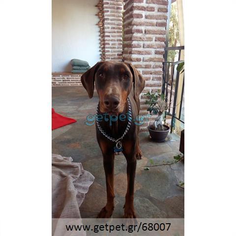 Δίνεται για υιοθεσία - χαρίζεται σκυλίτσα Doberman - Ντόμπερμαν